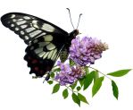 Butterfly on wisteria